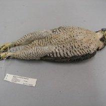 Image of X.2004.6 - Peregrine Falcon