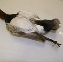 Image of X.23.86.65 - Canvasback