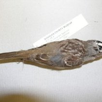 Image of X.5.78.4 - White-crowned Sparrow