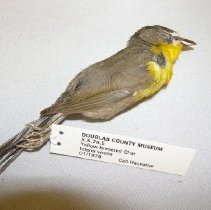 Image of X.5.78.5 - Yellow-breasted Chat