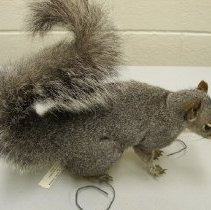 Image of X.7.81.109 - Western Gray Squirrel