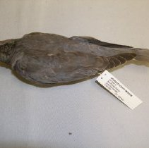 Image of XII.2001.4 - Band-tailed Pigeon