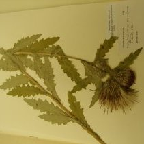 Image of H.1323 - Cirsium brevistylum