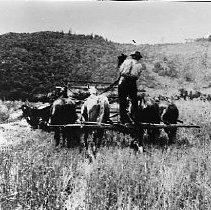 Image of N1116 - REMARKS:Tom Burnett driving a four-horse header, cutting grain, Round Prairie Ranch.  Myrtle Creek area.