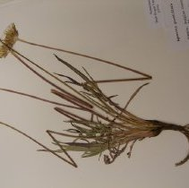 Image of H.1679 - Agoseris grandiflora