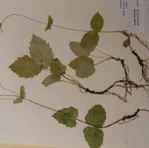 Image of H.993 - Arnica latifolia