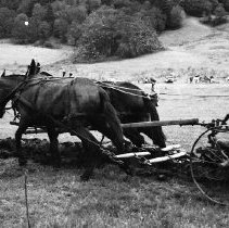 Image of N7679 - REMARKS:The largest team of mules in Oregon (1979) plowing; the driver is riding a sulky plow.