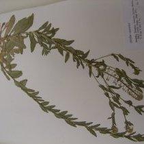Image of H.199 - Lepidium campestre