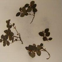 Image of H.1643 - Gaultheria humifusa
