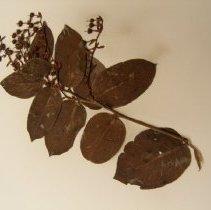 Image of H.1771 - Gaultheria shallon