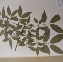 Image of H.2024 - Euonymus occidentalis