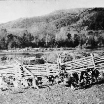 Image of N6057 - REMARKS:Turkeys in front of a rail fence, Bacon Ranch; Umpqua River in background.