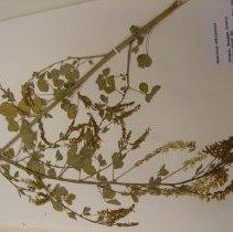 Image of H.1443 - Melilotus officinalis