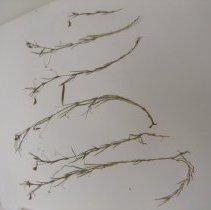Image of H.1664 - Lathyrus sphaericus