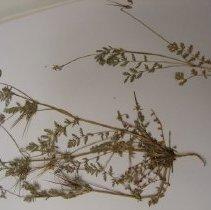 Image of H.131 - Erodium cicutarium