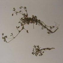 Image of H.1641 - Trifolium variegatum
