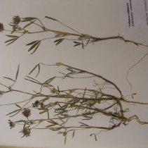 Image of H.17 - Trifolium tridentatum