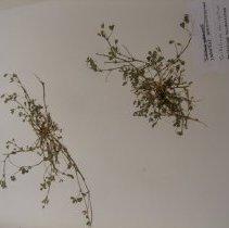 Image of H.1738 - Trifolium tridentatum