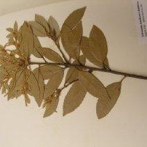 Image of H.918 - Lithocarpus densiflora