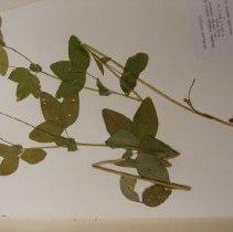 Image of H.M580 - Trifolium hybridum