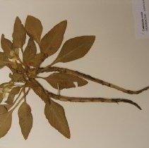 Image of H.900 - Oenothera ovata