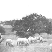 Image of N1364 - REMARKS:Douglas County Stockmen with sheep; ca. 1897-1900.  OBJECT DATE:ca. 1897-1900