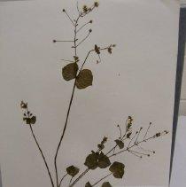 Image of Claytonia sibirica