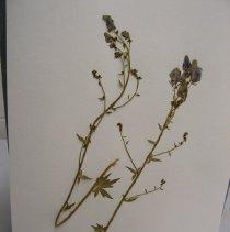 Image of Aconitum columbianum v howellii