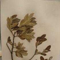 Image of H.1118 - Salix hookeriana