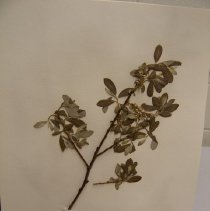 Image of H.1426 - Salix piperi