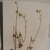 Image of H.4 - Lithophragma parviflora