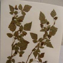 Image of H.43 - Rubus spectabilis