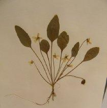 Image of H.1003 - Viola nuttallii v praemorsa