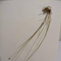 Image of H.857 - Carex hoodii