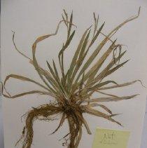 Image of H.J202 - Carex luzulina
