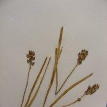 Image of H.1478 - Tofieldia glutinosa v brevistyla