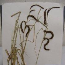 Image of H.3270 - Carex obnupta