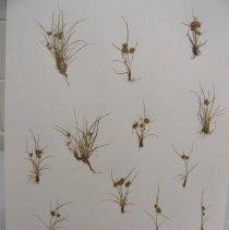 Image of H.3282 - Cyperus squarrosus