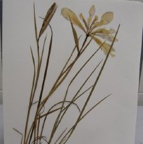 Image of H.8 - Iris tenax