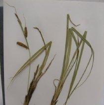Image of H.M301 - Carex utriculata