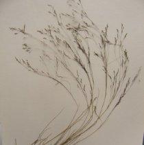 Image of H.1251 - Agrostis scabra