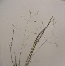 Image of H.1405 - Agrostis scabra