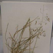 Image of H.826 - Deschampsia cespitosa v cespitosa