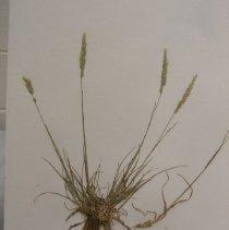 Image of H.J133 - Koeleria cristata