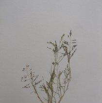 Image of H.M97 - Eragrostis pilosa