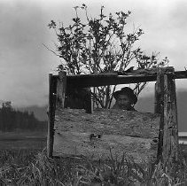 Image of NN74 - Bailey (Alaskan Indian man) looking out duck blind made of boards.  Flat landscape, hills in background.  Alaska 1920.