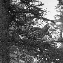 Image of LS65 - REMARKS:Grouse in tree, Alaska.  OBJECT DATE:ca. 1920's