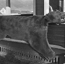 Image of Bear skin Yoncalla