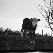 Image of N17532 - A cow From the Weston Dailey Collection