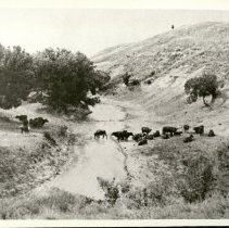 Image of Cattle at Pawnee Crossing View of Pawnee Crossing  with a herd of cattle grazing.  -